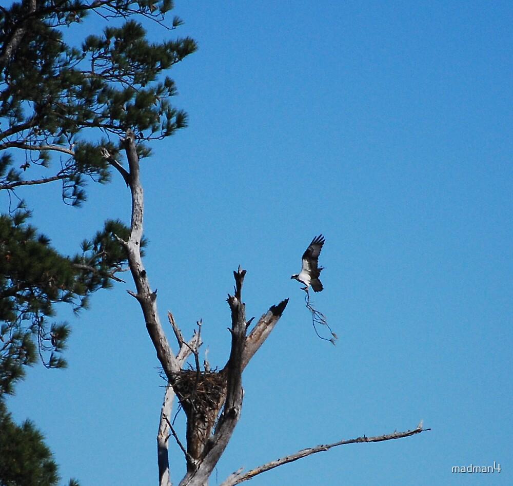 Osprey Nest Building by madman4