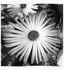 Black and white flower daisy Poster