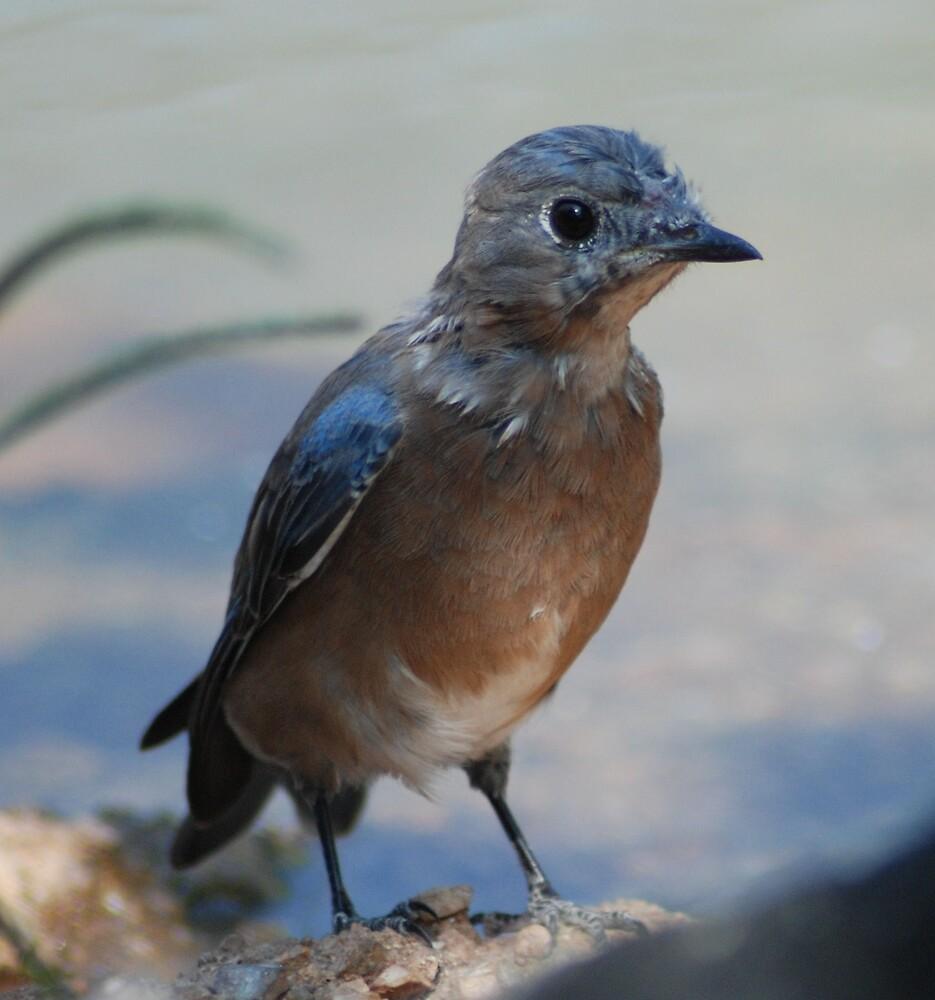 Blue Bird by AnneS