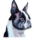 Boston Terrier - USA by doggyshop