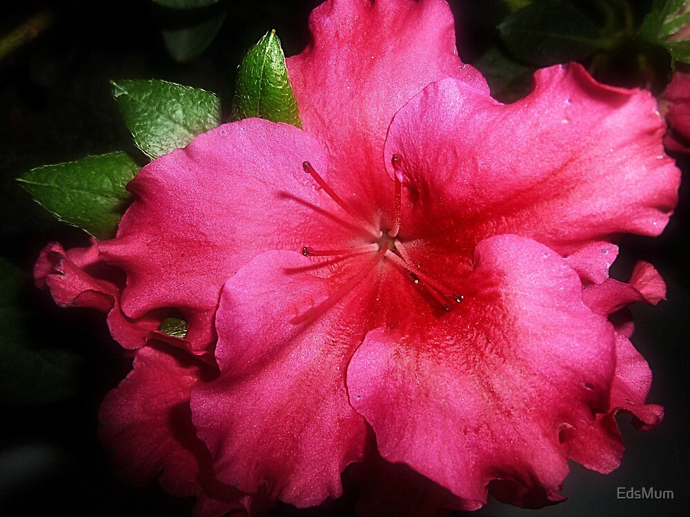 *Beautiful Azalea - ready to plant out of Pot by EdsMum
