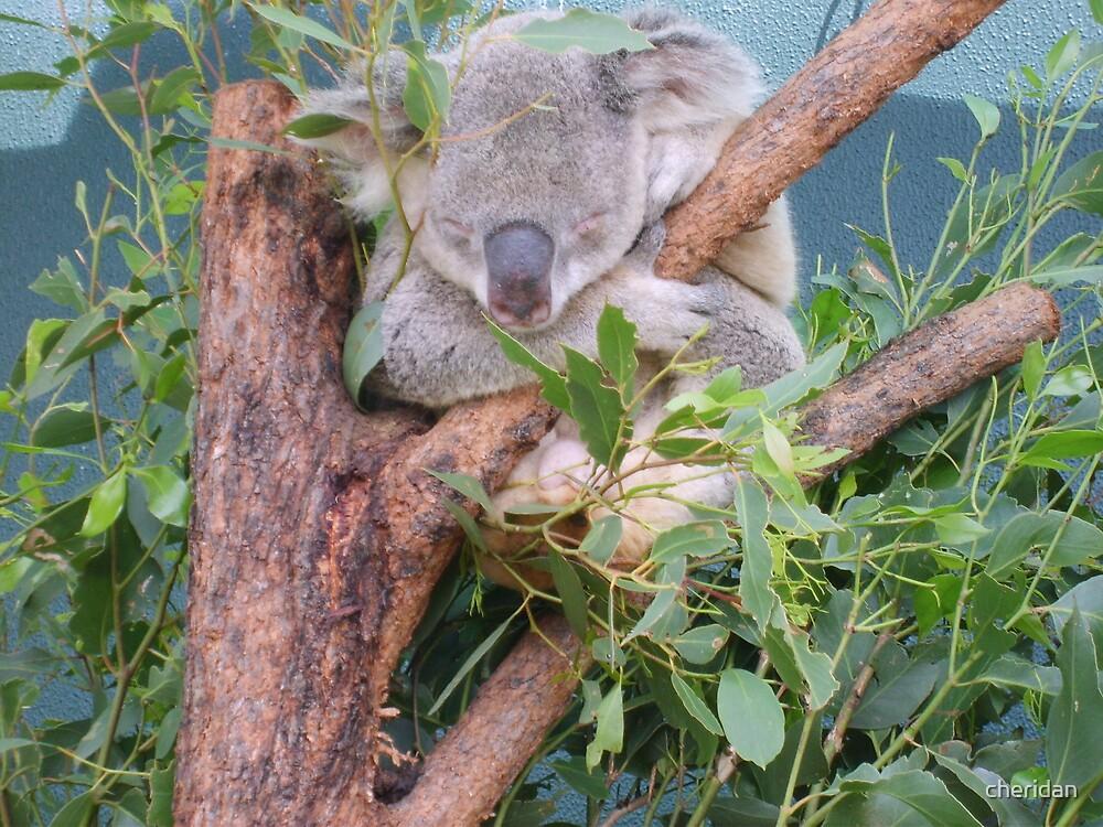 Koala head by cheridan