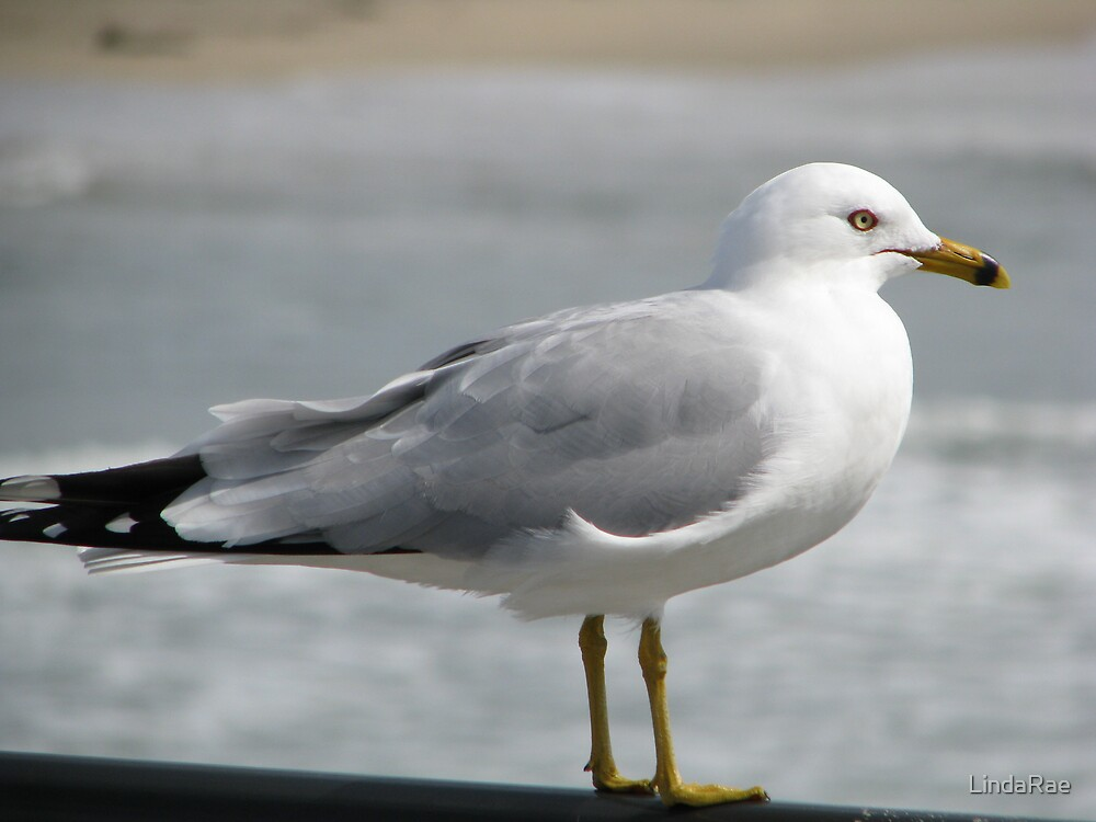 Seagull by LindaRae