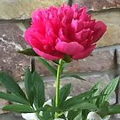 Peonie in Pink by Mary Kaderabek-Aleckson