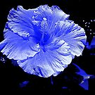 Blue Hibiscus by David Schroeder