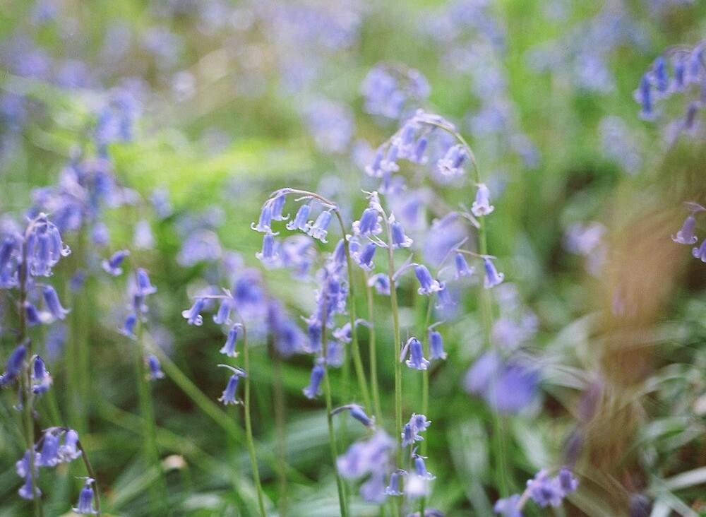 Bluebells by sarah brown