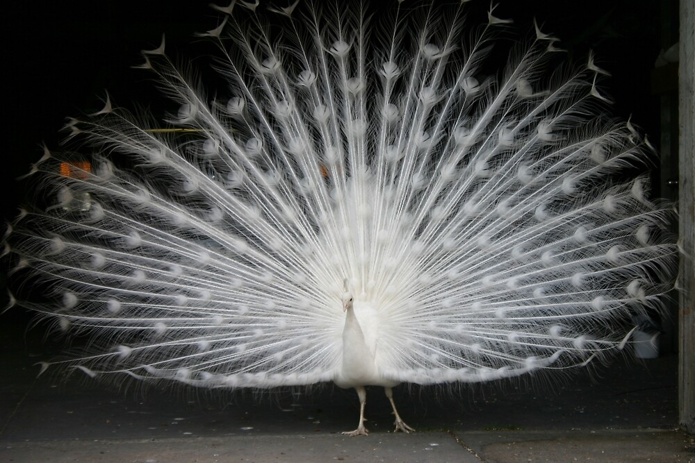 St. John's Peacock by banncrawford
