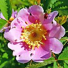 Wild Rose by Lesliebc