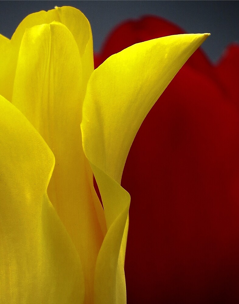 Tulip Duet by Roger Easley