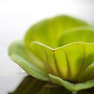Waterlilly by palmerphoto