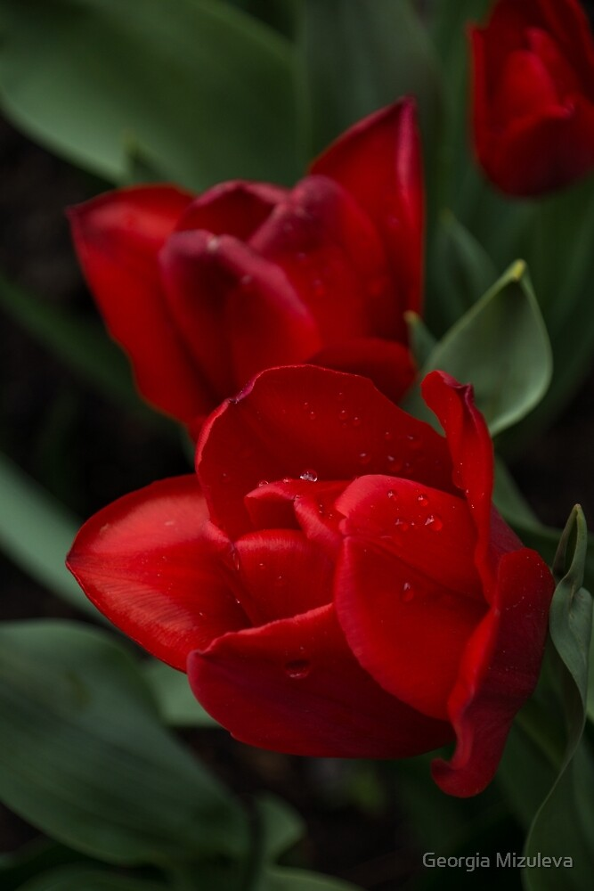 Rainy Spring Garden with Vivid Red Tulips by Georgia Mizuleva