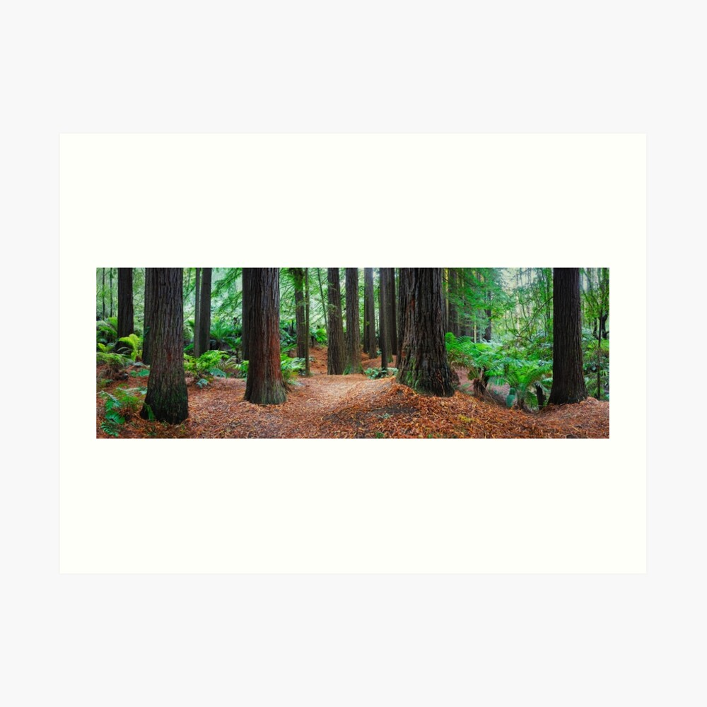 Redwood Forest, Otways, Great Ocean Road, Victoria, Australia Art Print