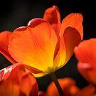 Back Lit orange Tulip by SteveHphotos
