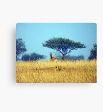 Lion Stalking Antelope Canvas Print