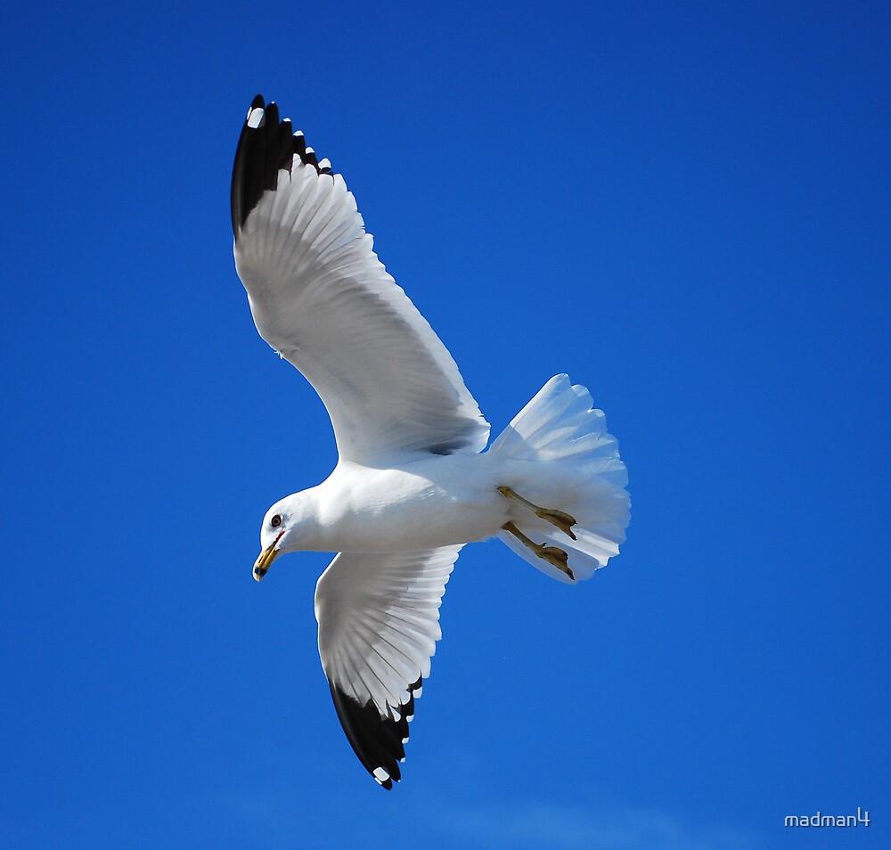 Sea Gull Beauty by madman4