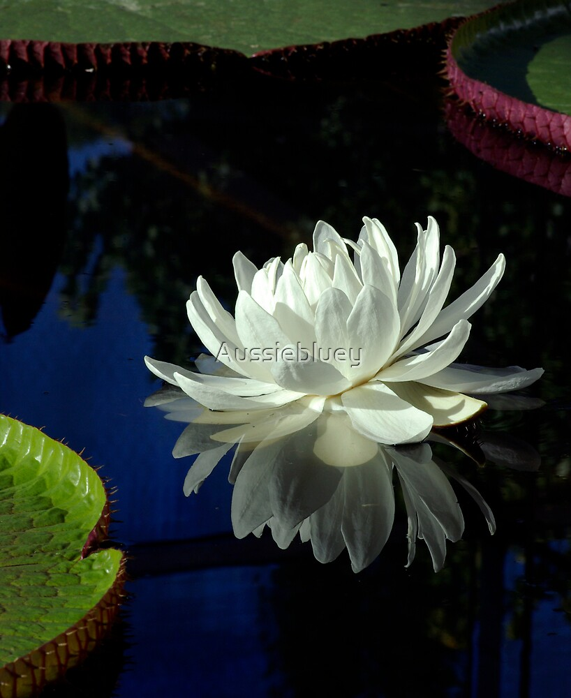 Amazon Water Lilly by Aussiebluey