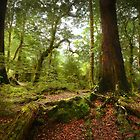 Red Beech forest, New Zealand by Kevin McGennan