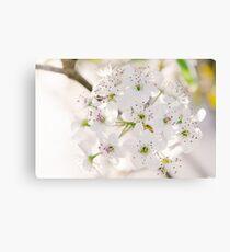 Pear Blossoms 5 Canvas Print