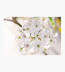 Pear Blossoms 5 Photographic Print