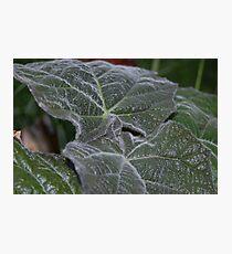 Purple Empress Tree Leaves Close Up Photographic Print
