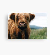 Scottish Highland Cow in Scotland Canvas Print