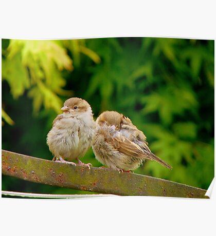 Sleep My Brother...I'll Keep Watch! - Sparrows - NZ Poster