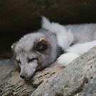 Arctic Fox by Okeesworld