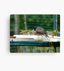 Are You My Wet-Nurse? - Silver-Eye/Starling - NZ Canvas Print
