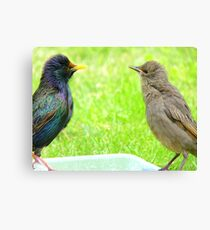 Monkey See, Monkey Do... - Starlings - NZ Canvas Print