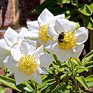 Carpenteria california 'Elizabeth' by John Thurgood
