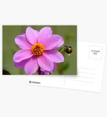 Dignity And Grace - Pink Dahlia - NZ Postcards