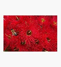 Beautiful Australian Native Eucalyptus Flowers Photographic Print