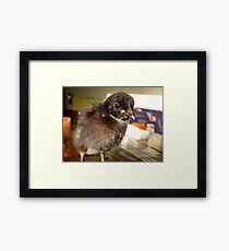 I Was Saved From The Deadly Pecking Order!!! -Black Rock Chick - NZ Framed Print