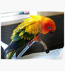 Hey Isn't This Supposed To Be Water On Tap.. Sunconure - NZ Poster