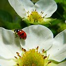 The Strawberry Lady... - Ladybird On Strawberry Flower - NZ by AndreaEL