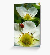 The Strawberry Lady... - Ladybird On Strawberry Flower - NZ Greeting Card