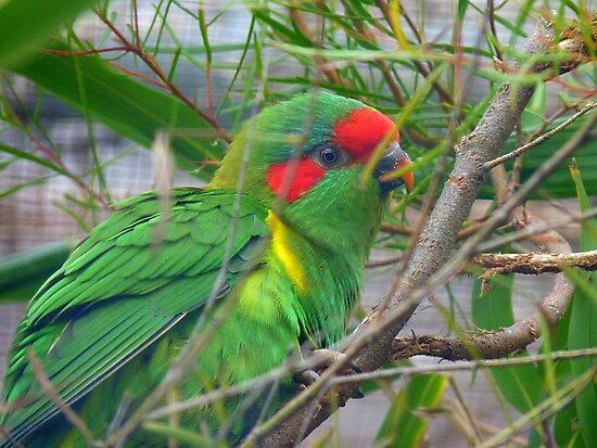 Could I Win A Beauty Contest? - Musk Lorikeet - NZ by AndreaEL