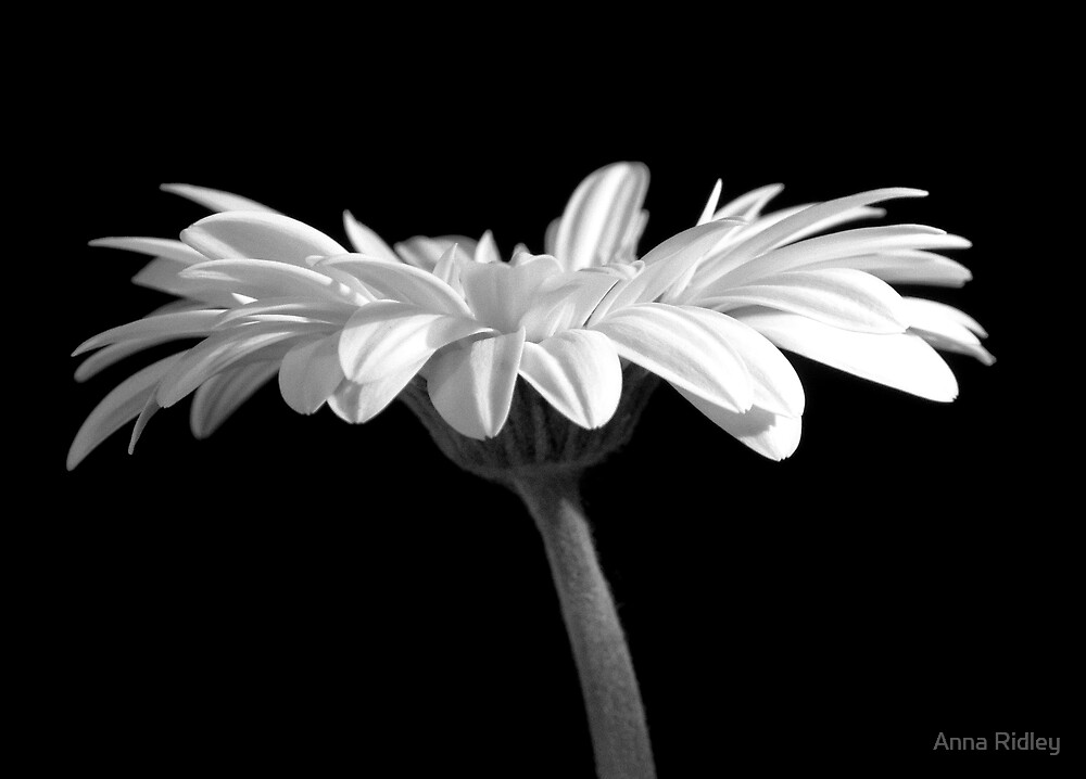 Under the Gerbera by Anna Ridley