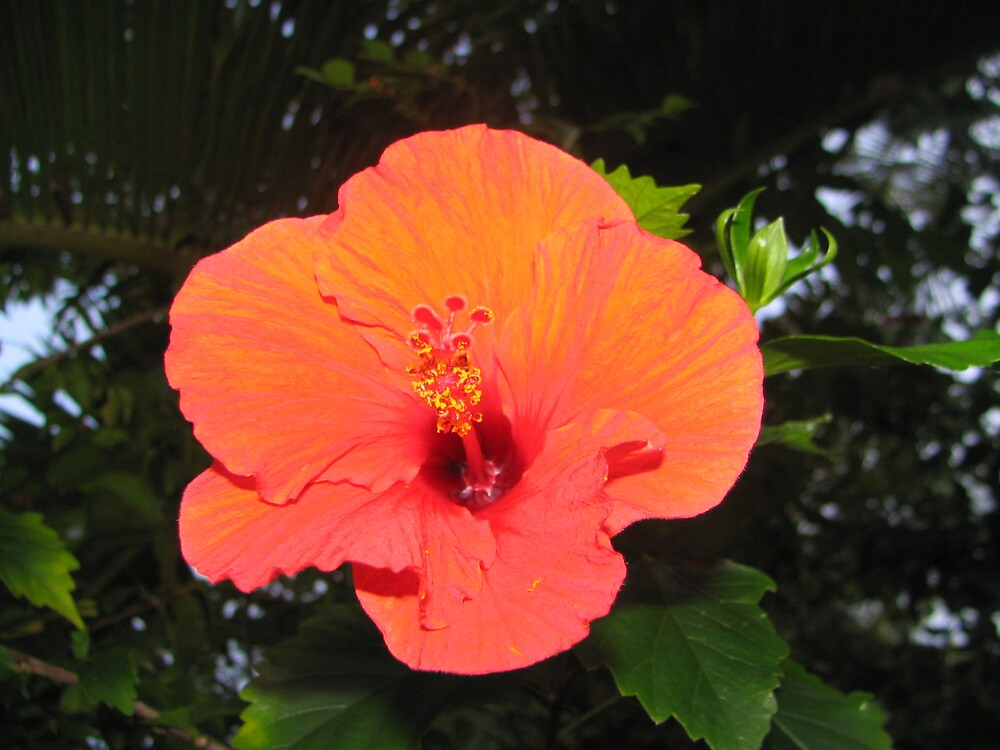 Hibiscus Heaven by Sue Wickes