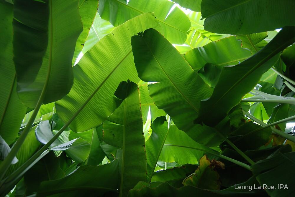 Banana Palm canopy by Lenny La Rue, IPA