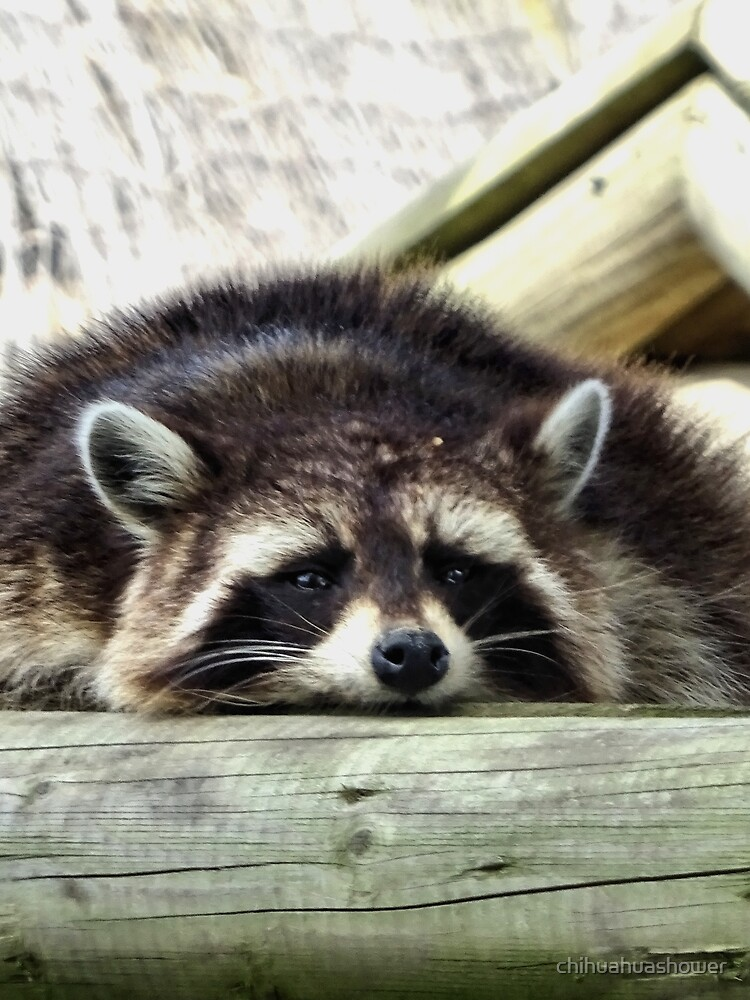 Tired Raccoon by chihuahuashower