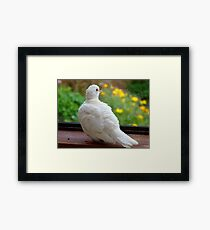 Can We Go Outside Now... Ring-neck Dove - NZ Framed Print