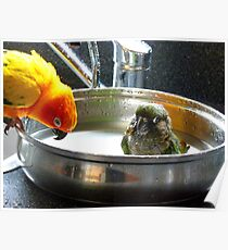 It's Not A Bird Bath... It's A Pan Bath LOL... - Conures - NZ Poster