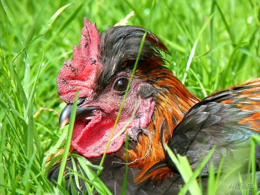 I'm Having A Bad Day... - Chook - NZ by AndreaEL