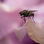 Thirsty Housefly Drinking Water by MattMasterson