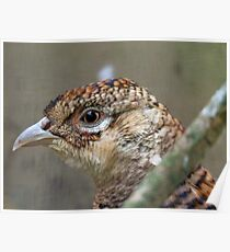 I See, Eye See You!! - Female Pheasant - NZ Poster