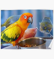 Evolution of the shovel  Sun Conure - NZ Poster
