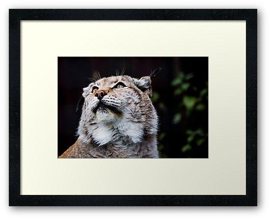 Eurasian Lynx by Alan Whyte