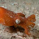 Southern Bottletail Squid, Camp Cove, Sydney Harbour by Erik Schlogl