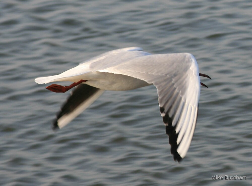 Seagul by Mike Butchart